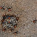 wheel_bug_hatchlings_eric