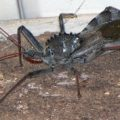 wheel_bug_illinois