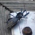 wheel_bug_laura