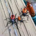 wheel_bug_nymphs_tracey