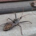 wheel_bug_stalks_stink_bug