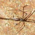 Whip Spider