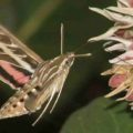 white_lined_sphinx_moth_john