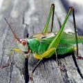 whitefaced_grasshopper_sam