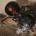 widow_eats_bess_beetle_2