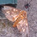 widow_eats_regal_moth