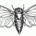 wikimedia_Locust_17-year