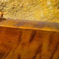 winged_weta_pterapotrechus_australia