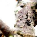 winter_stonefly_pa