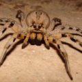wolf_spider_cyprus_alex