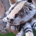 wolf_spider_kenya_zarek