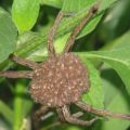 wolf_spider_spiderlings_ramsey