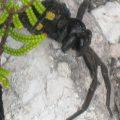wolf_spider_tasmania_nick