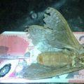 wood_moth_australia_creadius