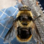 woolly_bear_hover_fly