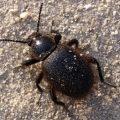 wooly_darkling_beetle_aaron