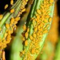 yellow_aphids_philippe