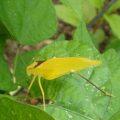 yellow_katydid_nc