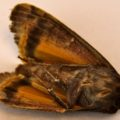 yellow_underwing_seattle
