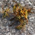 Yellowjacket Mating Frenzy