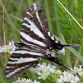 zebra_swallowtail_jeff