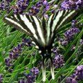 zebra_swallowtail_karen
