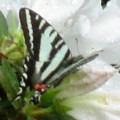 zebra_swallowtail_leslie