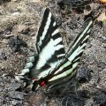 zebra_swallowtail_pam