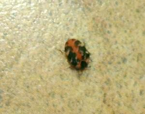 Buffalo Carpet Beetle