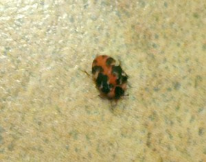 Buffalo Carpet Beetle What S That Bug