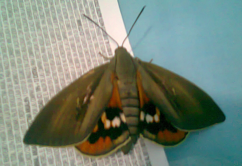 Butterfly Moths Archives What S That Bug