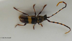 Longhorned Borer Beetle