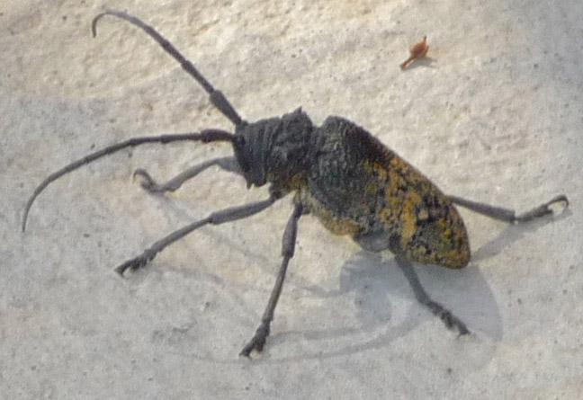 Cerambycidae  Bockkäfer von Europa  Checkliste und Fotos