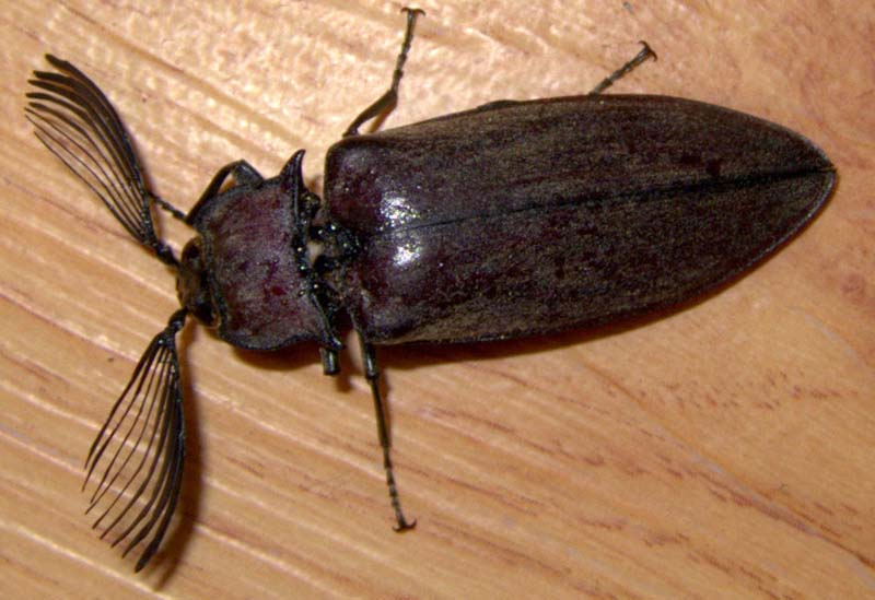 Click beetle with pectinate antennae from uganda what s that bug