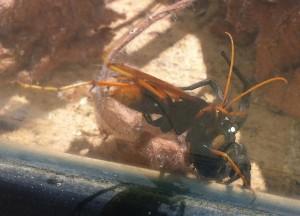 Spider Wasp battles with Wolf Spider
