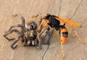 Spider Wasp paralyzes Wolf Spider