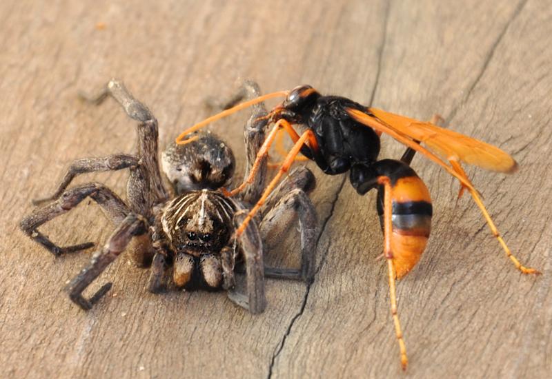 Spider Wasp with Wolf Spider in Australia