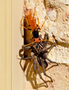 Spider Wasp dragging Wolf Spider up a wall