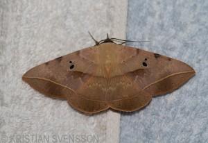 Geometrid Moth, we believe