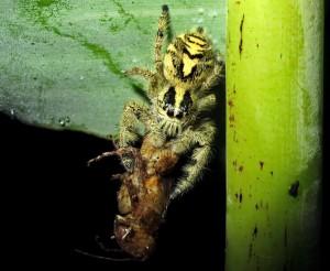 Jumping Spider eats Grasshopper