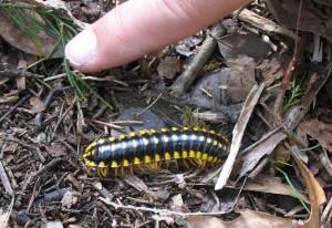 Flatbacked Millipede:  Sigmoria trimaculata