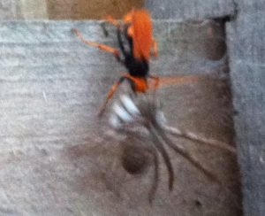 Spider Wasp with Huntsman Spider