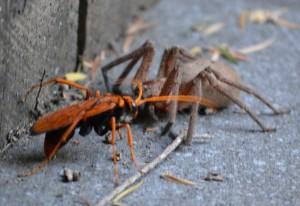 Spider Wasp with Huntsman Spider