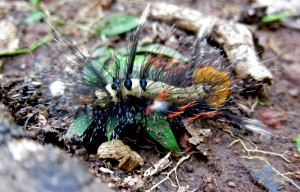 Possibly Tussock Moth Caterpillar