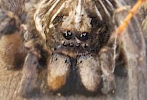 Wolf Spider Eyes