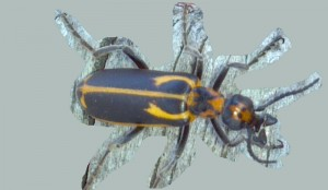 Yellow Crescent Blister Beetle