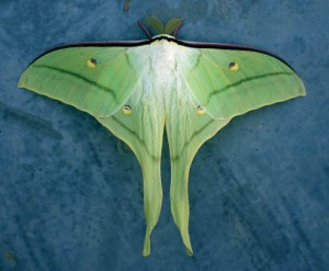 Actias felicis, we believe