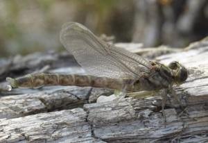 Recently Metamorphosed Dragonfly