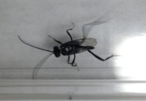 Ensign Wasp