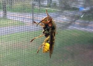 European Hornet Queen